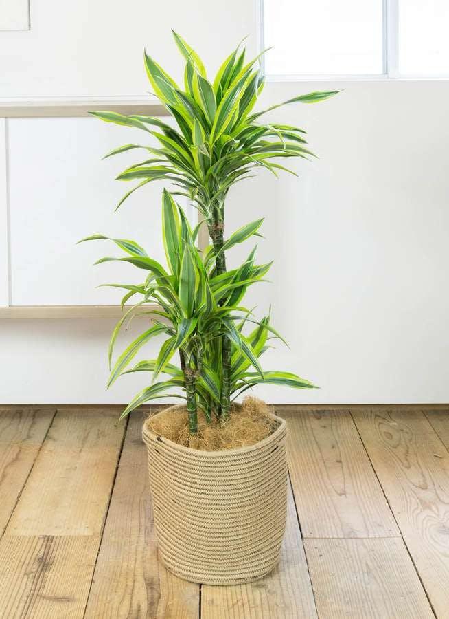 観葉植物 ドラセナ ワーネッキー レモンライム 8号 リブバスケットNatural 付き