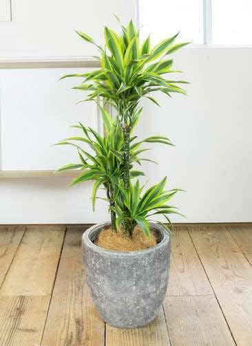 観葉植物 ドラセナ ワーネッキー レモンライム 8号 アビスソニア ミドル 灰 付き