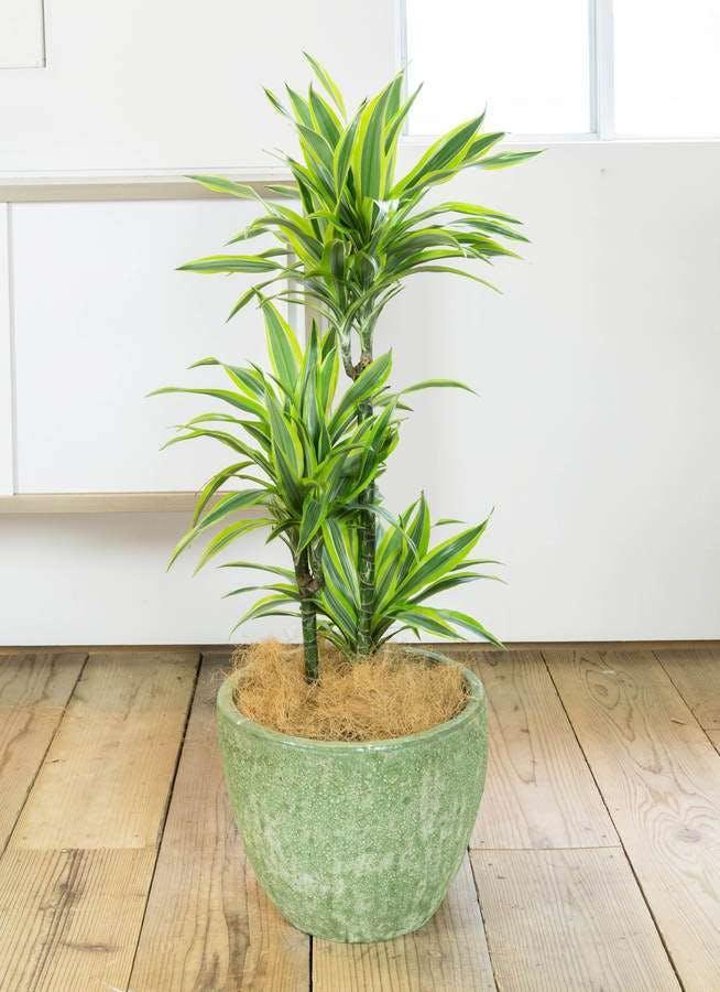 観葉植物 ドラセナ ワーネッキー レモンライム 8号 アビスソニア ミドル 緑 付き