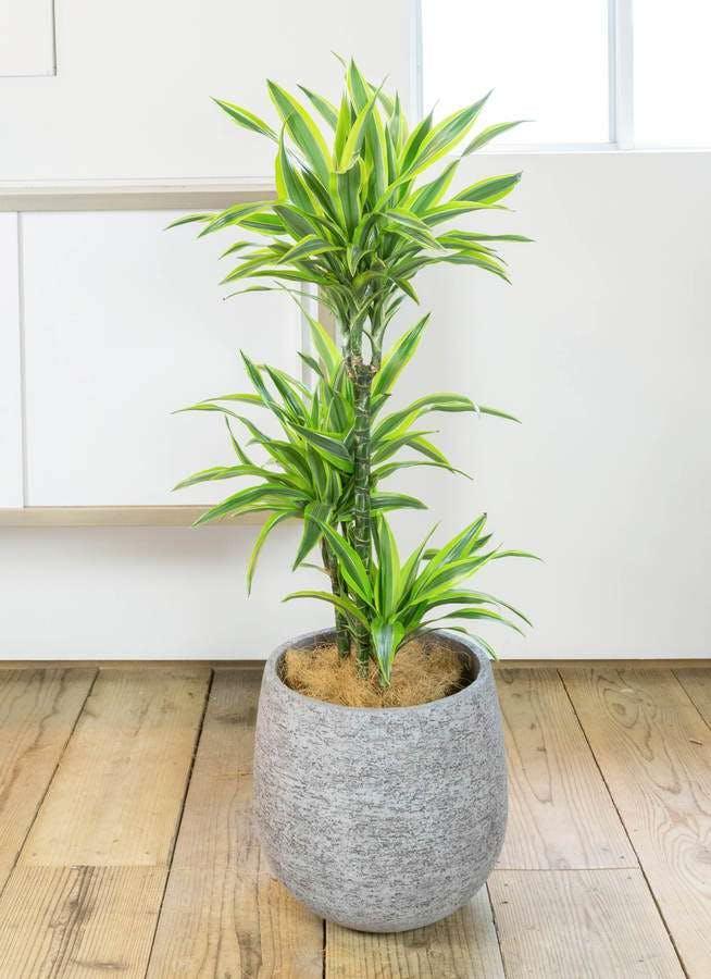 観葉植物 ドラセナ ワーネッキー レモンライム 8号 エコストーンGray 付き