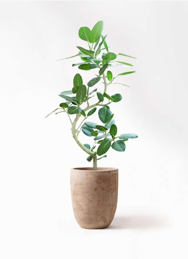 観葉植物 フィカス ベンガレンシス 8号 曲り ルーガ アンティコ アルトエッグ 付き