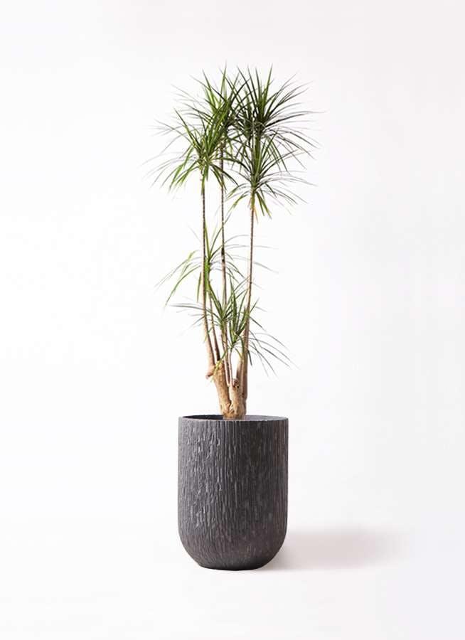観葉植物 ドラセナ コンシンネ 10号 カルディナトールダークグレイ