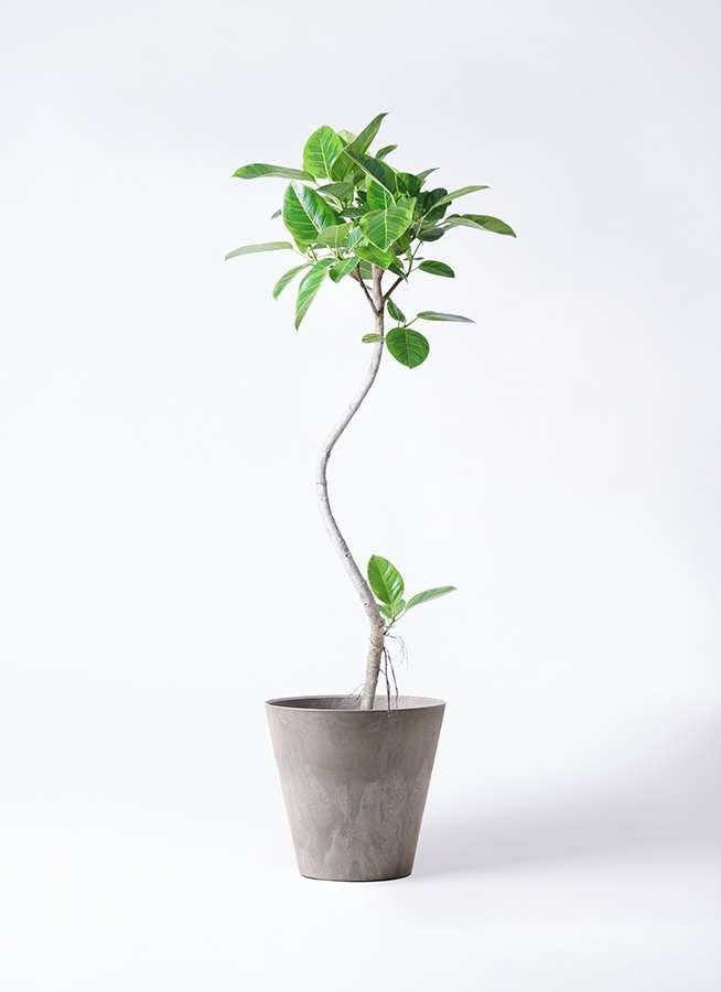 観葉植物 フィカス アルテシーマ 8号 曲り アートストーン ラウンド グレー 付き