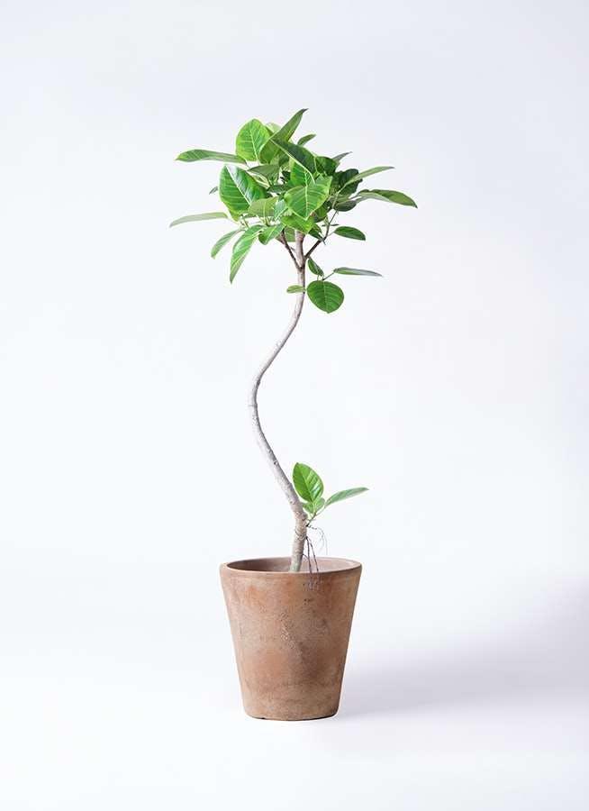 観葉植物 フィカス アルテシーマ 8号 曲り ルーガ アンティコ ソリッド 付き