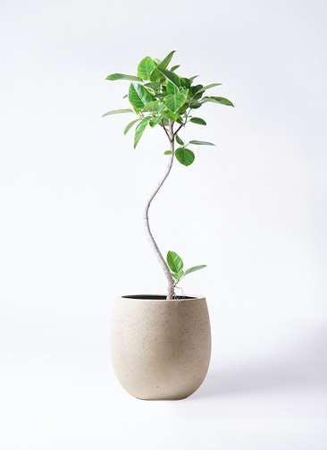 観葉植物 フィカス アルテシーマ 8号 曲り テラニアス バルーン アンティークホワイト 付き