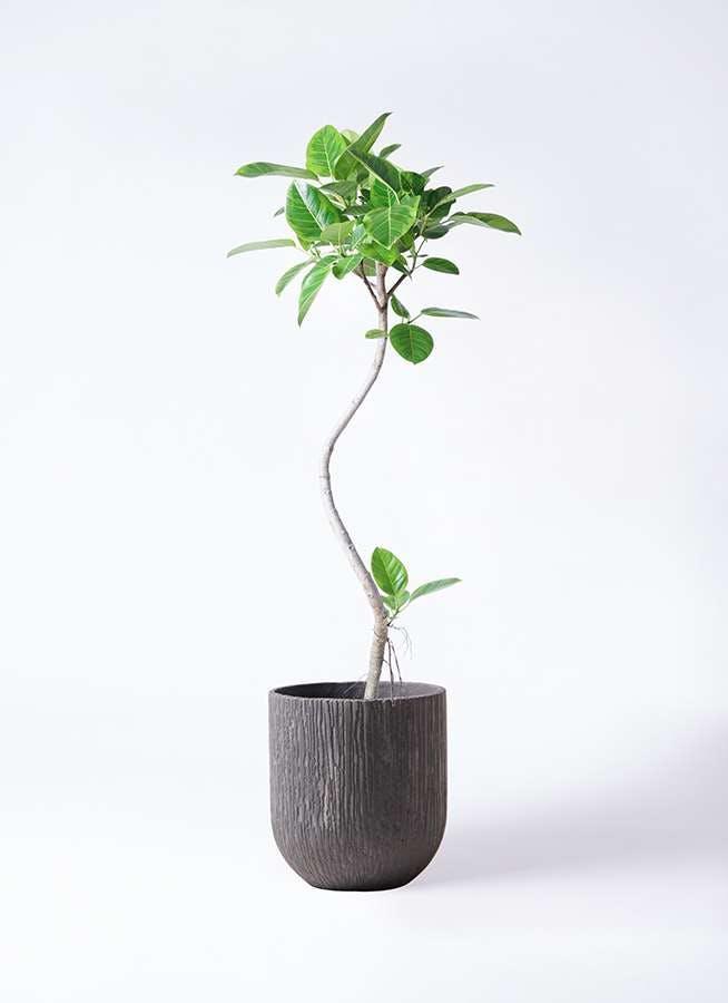 観葉植物 フィカス アルテシーマ 8号 曲り カルディナダークグレイ 付き