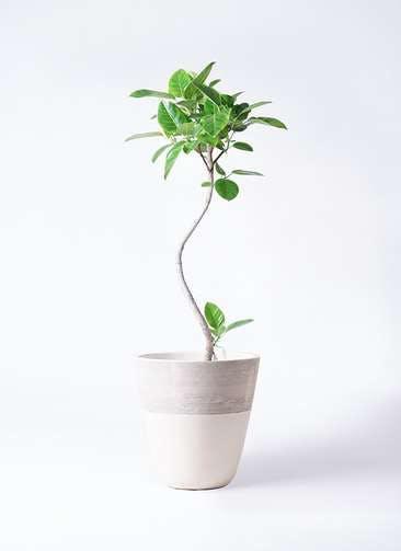 観葉植物 フィカス アルテシーマ 8号 曲り ジュピター 白 付き