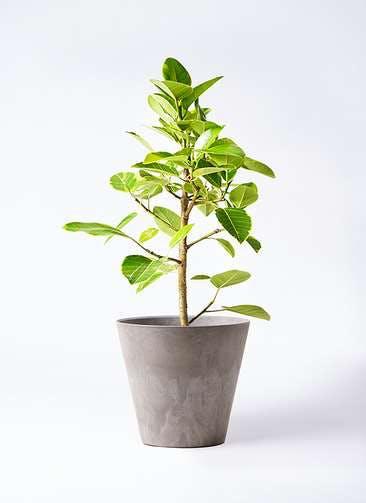 観葉植物 フィカス アルテシーマ 7号 ストレート アートストーン ラウンド グレー 付き
