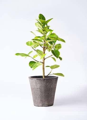 観葉植物 フィカス アルテシーマ 7号 ストレート フォリオソリッド ブラックウォッシュ 付き
