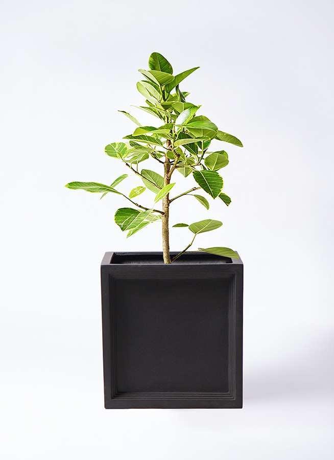 観葉植物 フィカス アルテシーマ 7号 ストレート ブリティッシュキューブ 付き