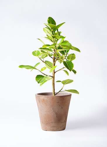 観葉植物 フィカス アルテシーマ 7号 ストレート ルーガ アンティコ ソリッド 付き