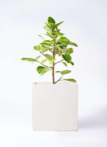 観葉植物 フィカス アルテシーマ 7号 ストレート バスク キューブ 付き