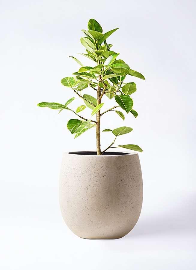 観葉植物 フィカス アルテシーマ 7号 ストレート テラニアス バルーン アンティークホワイト 付き