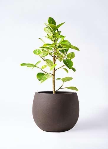 観葉植物 フィカス アルテシーマ 7号 ストレート テラニアス ローバルーン アンティークブラウン 付き