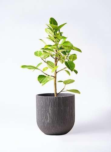 観葉植物 フィカス アルテシーマ 7号 ストレート カルディナダークグレイ 付き