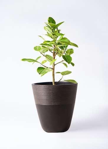 観葉植物 フィカス アルテシーマ 7号 ストレート ジュピター 黒 付き
