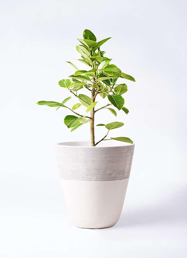 観葉植物 フィカス アルテシーマ 7号 ストレート ジュピター 白 付き