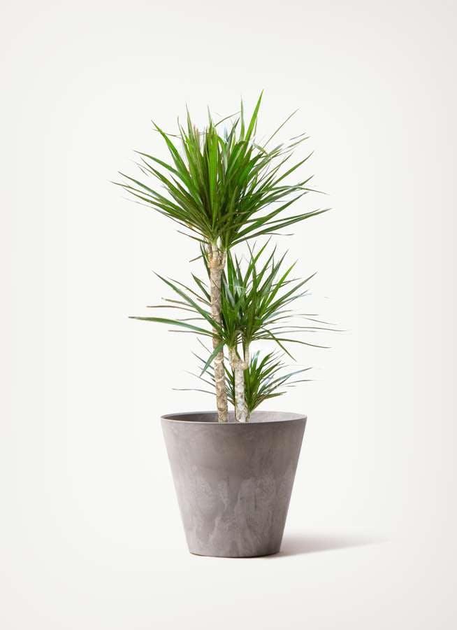 観葉植物 ドラセナ コンシンネ 7号 寄せ アートストーン ラウンド グレー 付き
