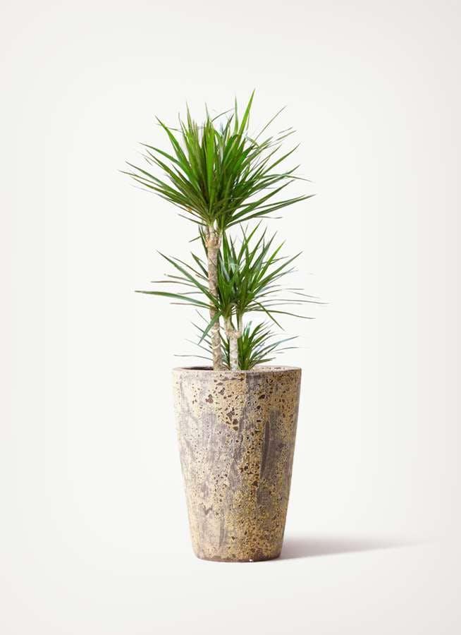 観葉植物 ドラセナ コンシンネ 7号 寄せ アトランティス クルーシブル 付き
