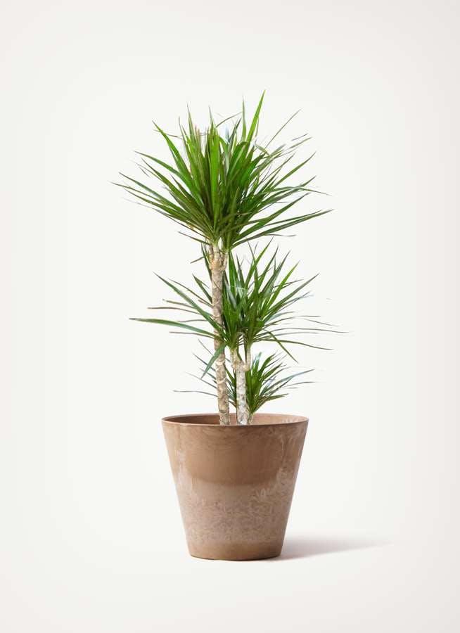 観葉植物 ドラセナ コンシンネ 7号 寄せ アートストーン ラウンド ベージュ 付き