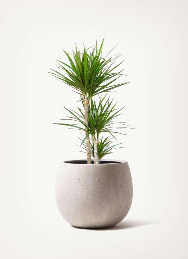 観葉植物 ドラセナ コンシンネ 7号 寄せ テラニアス ローバルーン アンティーク ホワイト 付き