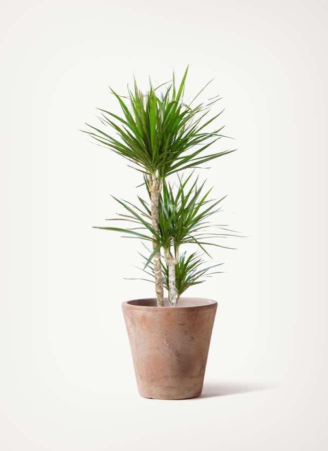 観葉植物 ドラセナ コンシンネ 7号 寄せ ルーガ アンティコ ソリッド 付き