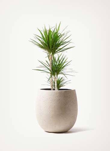 観葉植物 ドラセナ コンシンネ 7号 寄せ テラニアス バルーン アンティーク ホワイト 付き
