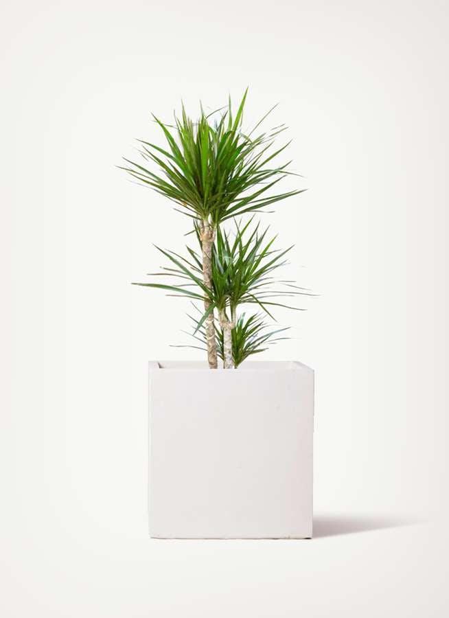 観葉植物 ドラセナ コンシンネ 7号 寄せ バスク キューブ  付き