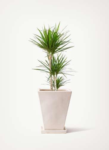 観葉植物 ドラセナ コンシンネ 7号 寄せ スクエアハット 白 付き