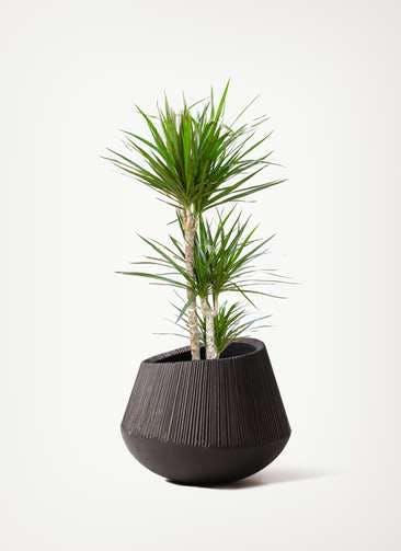 観葉植物 ドラセナ コンシンネ 7号 寄せ エディラウンド 黒 付き