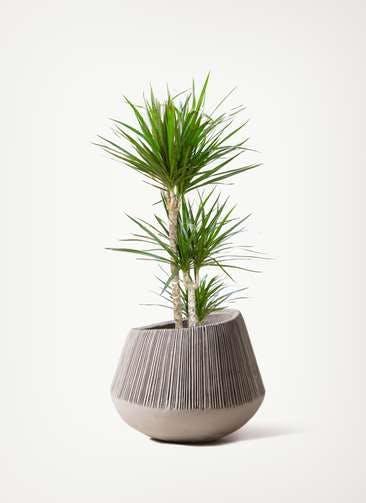 観葉植物 ドラセナ コンシンネ 7号 寄せ エディラウンド グレイ 付き