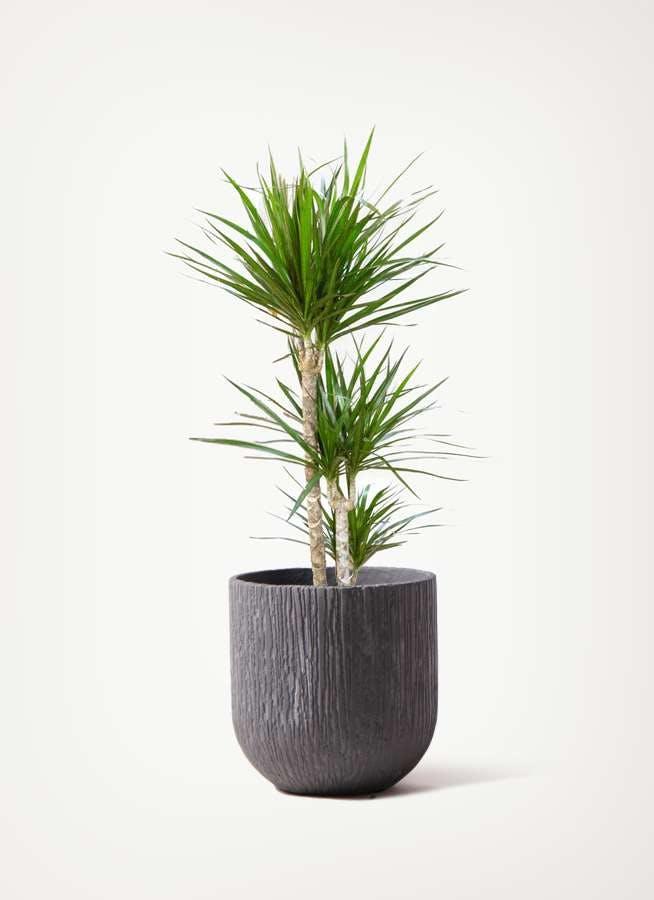 観葉植物 ドラセナ コンシンネ 7号 寄せ カルディナダークグレイ 付き