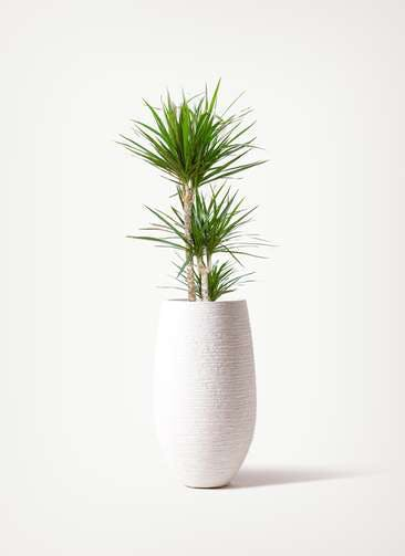 観葉植物 ドラセナ コンシンネ 7号 寄せ フォンティーヌトール 白 付き