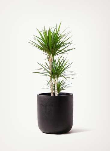 観葉植物 ドラセナ コンシンネ 7号 寄せ エルバ 付き