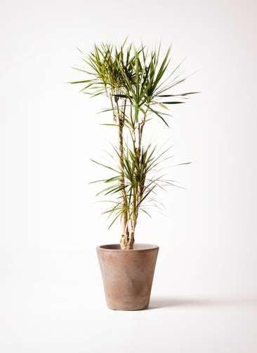 観葉植物 ドラセナ コンシンネ 8号 ルーガ アンティコ ソリッド 付き