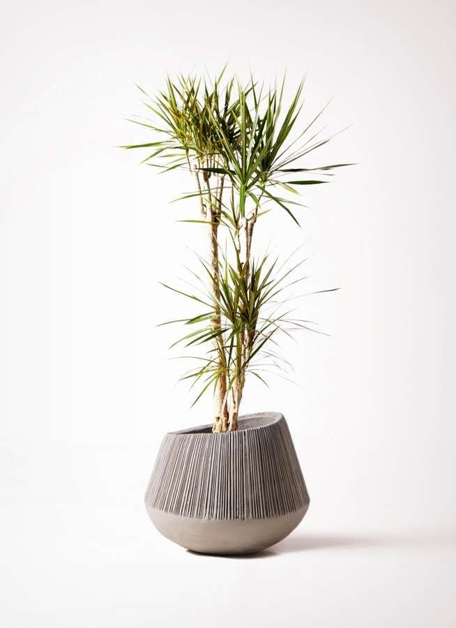 観葉植物 ドラセナ コンシンネ 8号 エディラウンド グレイ 付き