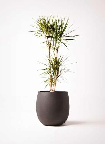 観葉植物 ドラセナ コンシンネ 8号 テラニアス バルーン アンティークブラウン 付き