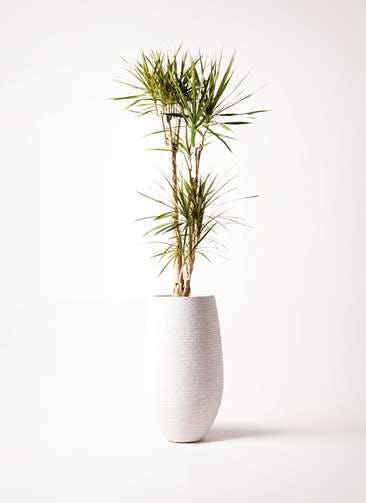 観葉植物 ドラセナ コンシンネ 8号 フォンティーヌトール 白 付き