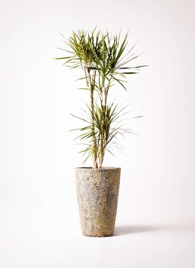 観葉植物 ドラセナ コンシンネ 8号 アトランティス クルーシブル 付き