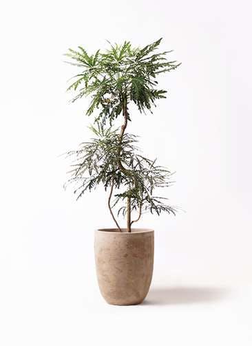 観葉植物 グリーンアラレア 8号 曲り ルーガ アンティコ アルトエッグ 付き