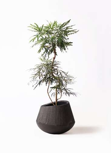 観葉植物 グリーンアラレア 8号 曲り エディラウンド 黒 付き