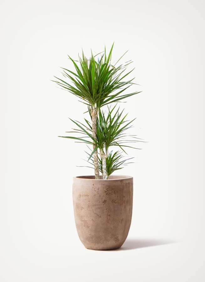 観葉植物 ドラセナ コンシンネ 7号 寄せ ルーガ アンティコ アルトエッグ 付き