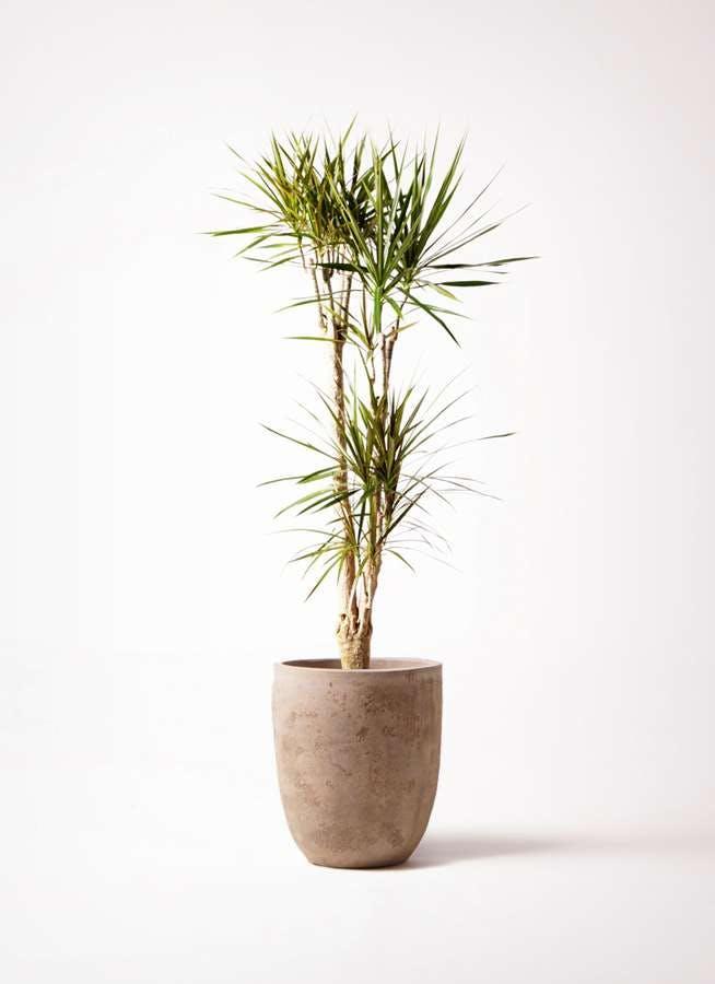 観葉植物 ドラセナ コンシンネ 8号 ルーガ アンティコ アルトエッグ 付き