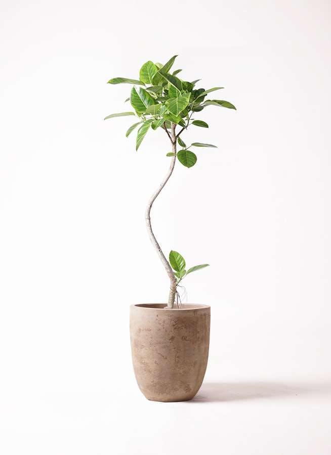 観葉植物 フィカス アルテシーマ 8号 曲り ルーガ アンティコ アルトエッグ 付き