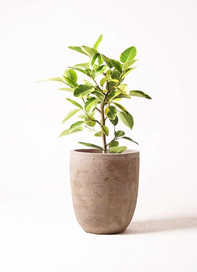 観葉植物 フィカス アルテシーマ 7号 ストレート ルーガ アンティコ アルトエッグ 付き