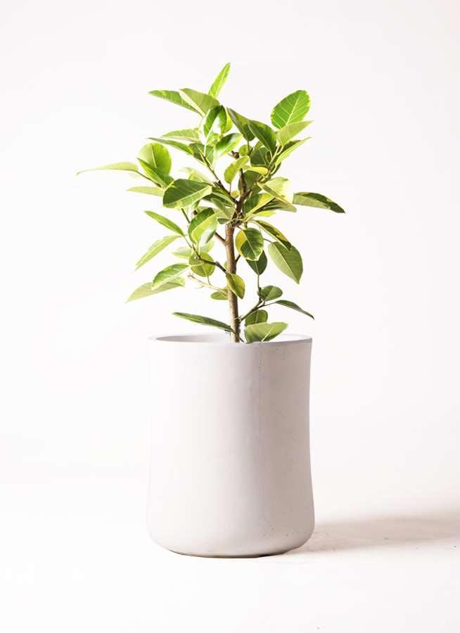観葉植物 フィカス アルテシーマ 7号 ストレート バスク ミドル ホワイト 付き