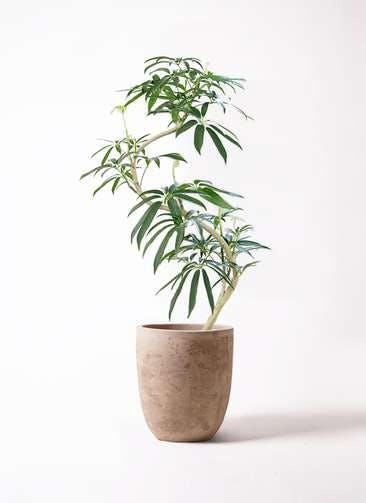 観葉植物 シェフレラ アンガスティフォリア 8号 曲り ルーガ アンティコ アルトエッグ 付き