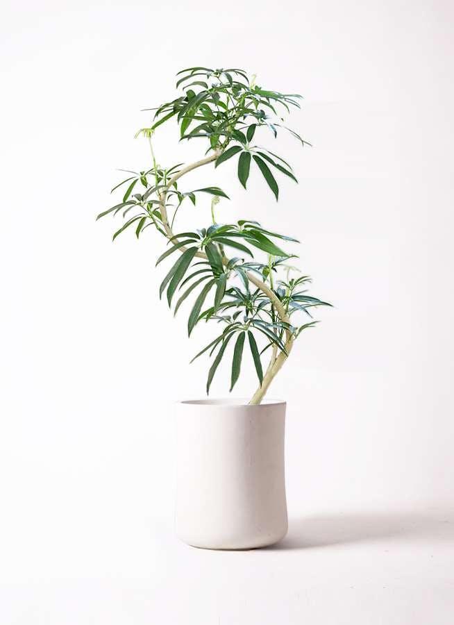 観葉植物 シェフレラ アンガスティフォリア 8号 曲り バスク ミドル ホワイト 付き