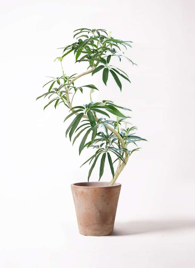 観葉植物 シェフレラ アンガスティフォリア 8号 曲り ルーガ アンティコ ソリッド 付き