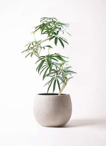 観葉植物 シェフレラ アンガスティフォリア 8号 曲り テラニアス ローバルーン アンティークホワイト 付き